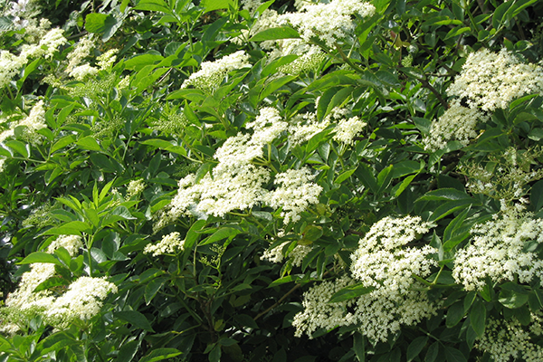 Elderflowers Su Bristow