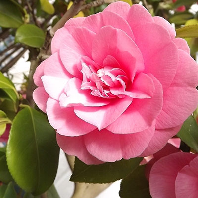 Traditions Camellia